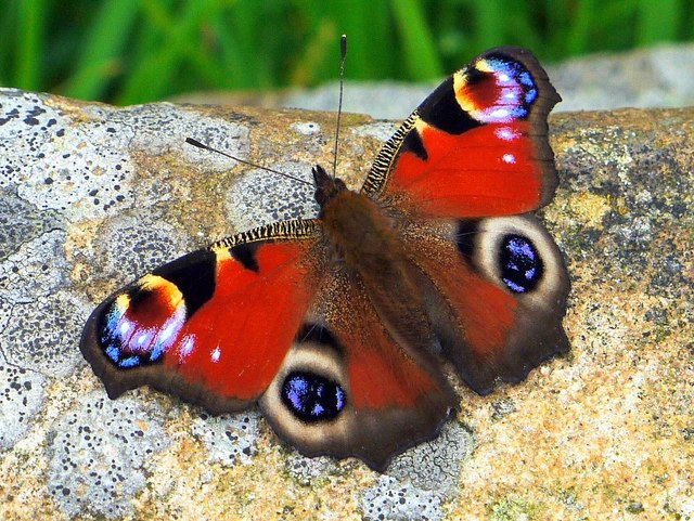Peacock butterfly (Inachis io), Heddon Butterfly Garden