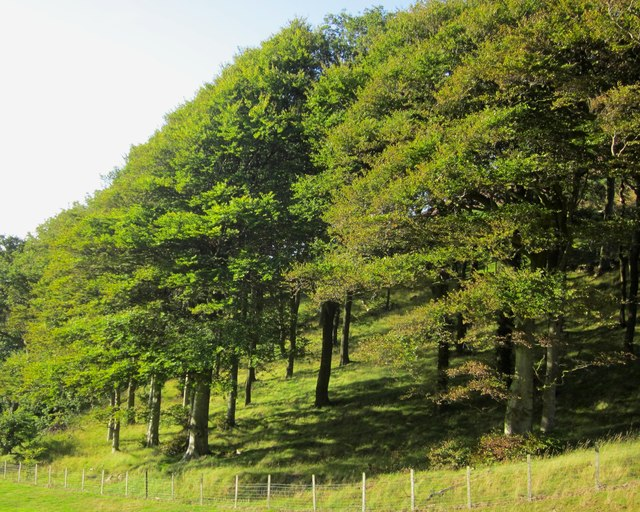 Coed ffawydd ar odre Moel Lus / Beech trees on the slopes of Moel Lus