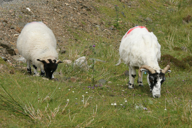 Blackface sheep, near Lingerbay (Lingreabhagh)