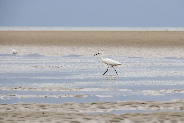 Little egret, Brancaster beach