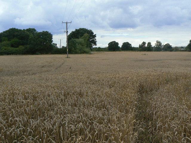 Wheat field near Calverton