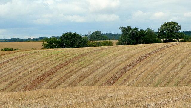 Harvested rape field