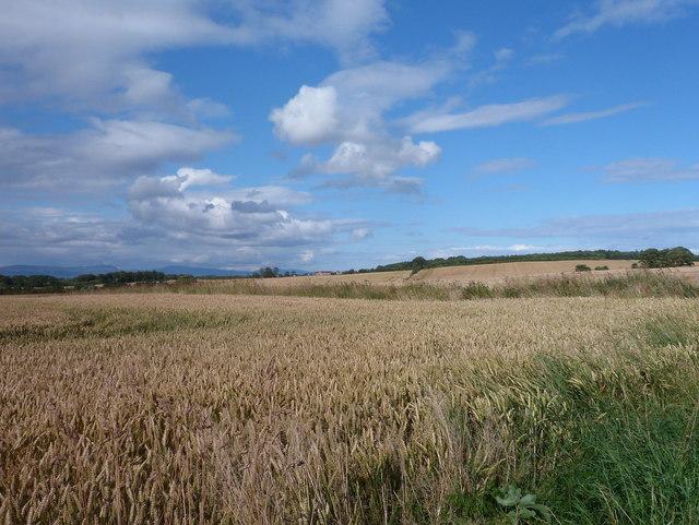 Golden grains near Cadboll
