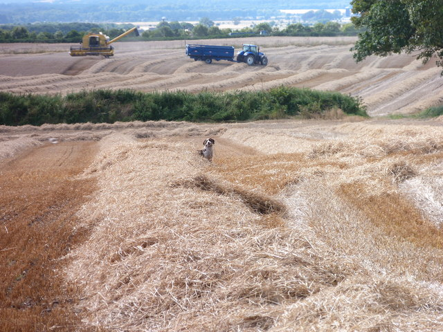 Dog and harvesters at Cadboll