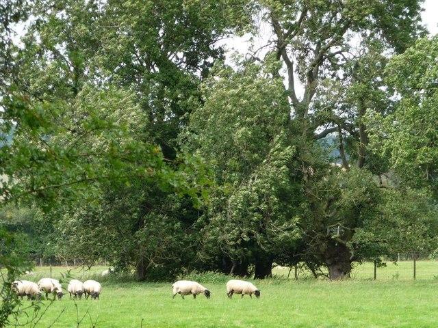 Stationary sheep, moving trees
