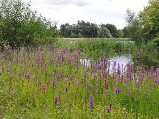 Frensham Little Pond, northernmost end