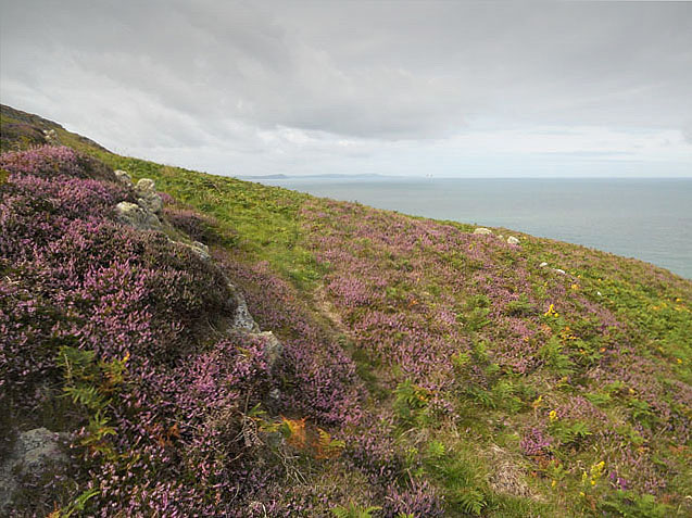Heather and rocks on Cemaes Head