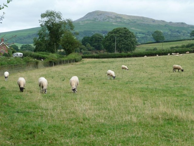 Grazing sheep near Asbatch