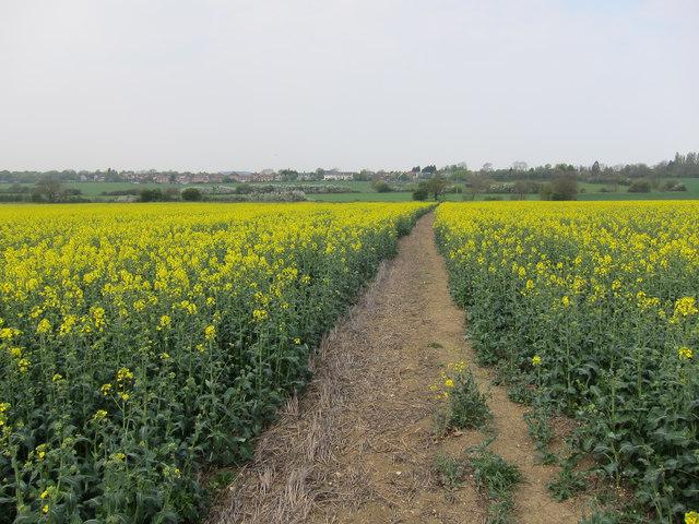 Footpath through the oil seed rape