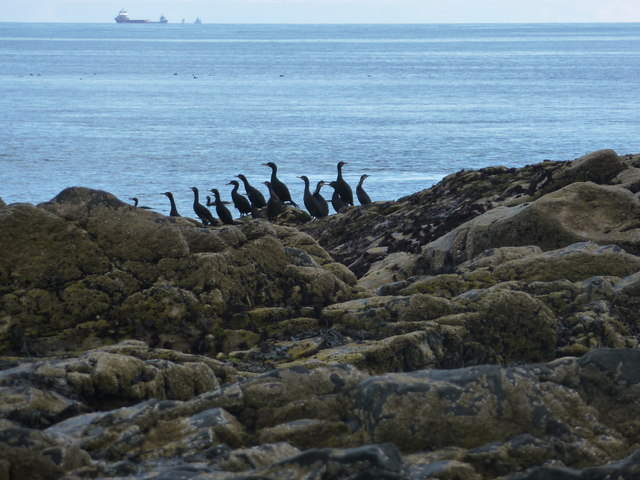Cormorants or shags at Scotstown Head