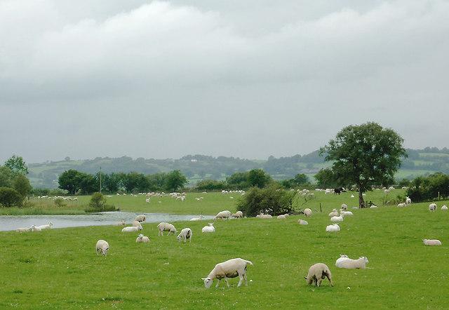 Grazing by Maes-llyn farm near Cors Caron, Ceredigion