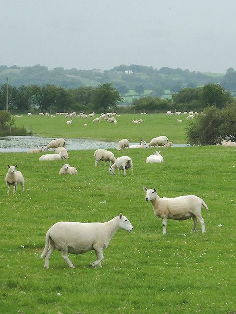 Sheep grazing near Cors Caron, Ceredigion