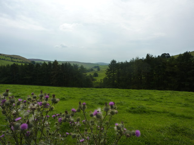 Thistles and view towards Hammerton Knowl