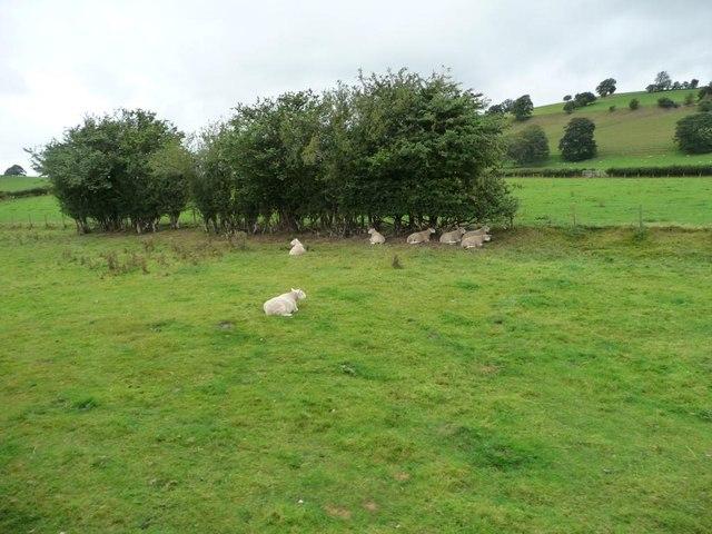 Sheep sheltering under short hedge