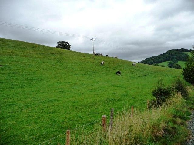 Cows on a hillside