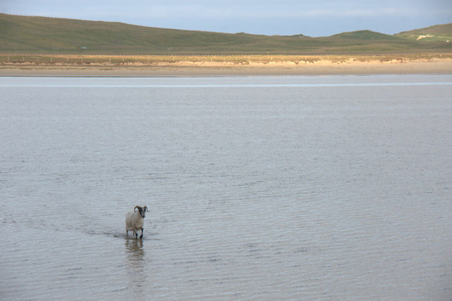 Sheep in the tidal pond near Taobh Tuath