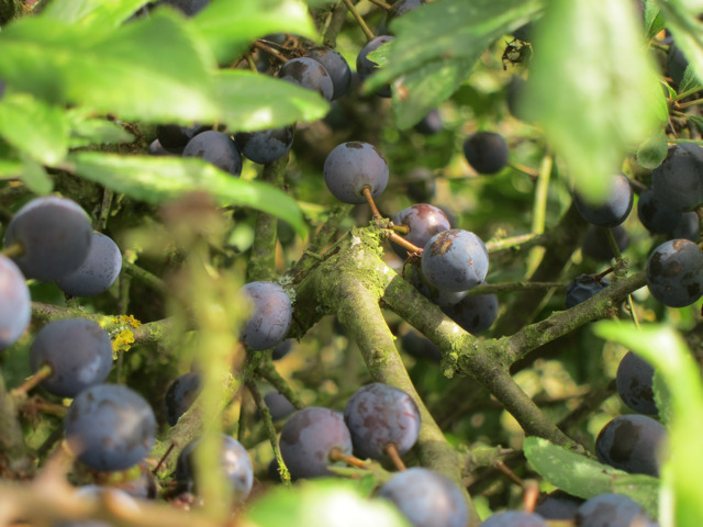 Sloes by Hubbards Hill