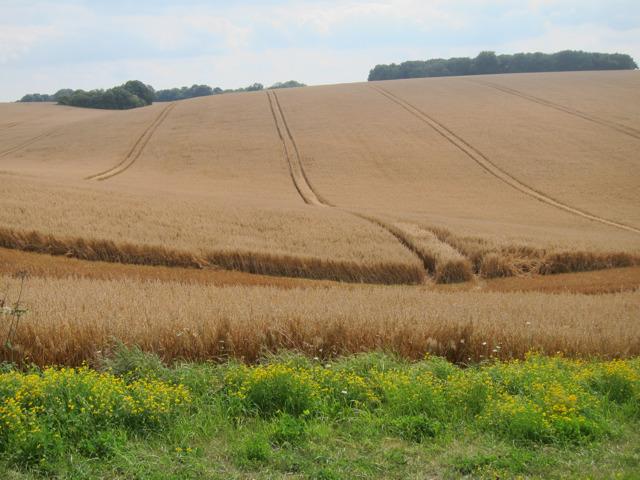 Crop field by Lone Barn Road