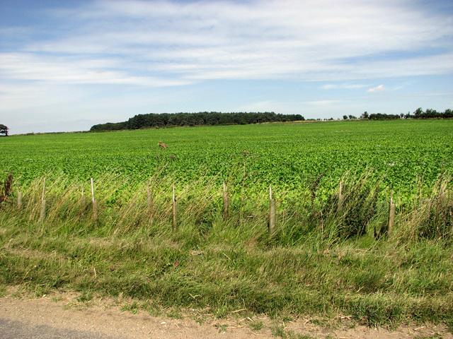Sugar beet crop beside Tofts Hill Road