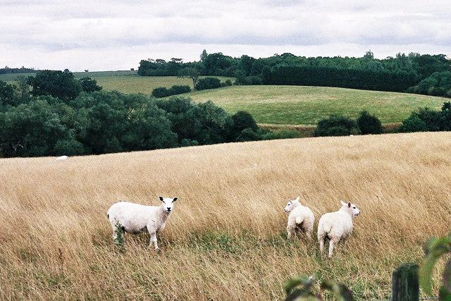 White-faced sheep