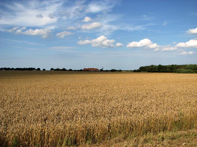 Wheat waiting to be harvested at Shammer, North Creake