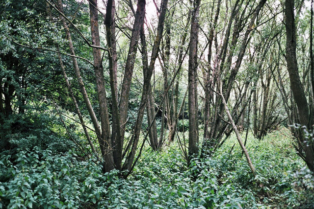 Coppiced trees by a stream
