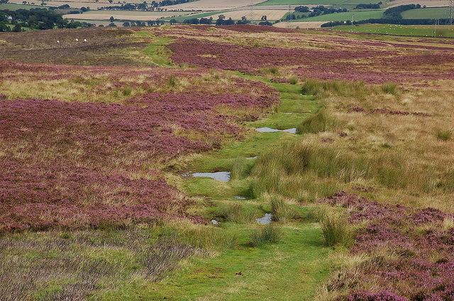 Track through the heather, Lauder Common