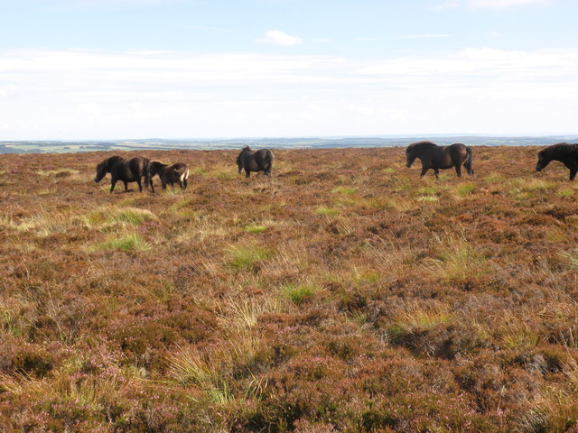 Exmoor Ponies, on Goosemoor Common
