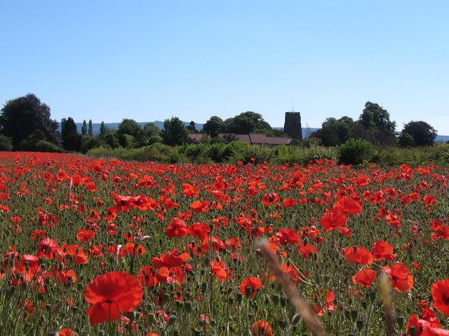 Poppy field, Thirsk