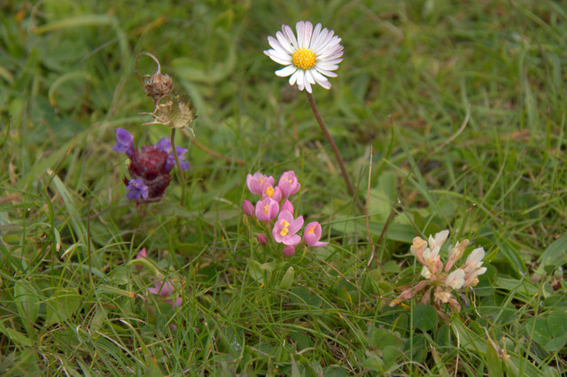 Four machair flowers at Huisinis