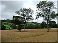 SJ1407 : Trees on a former field boundary by Christine Johnstone