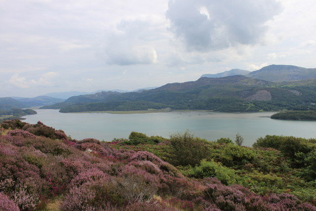 Heather growing at the 'Panorama' viewpoint above the Mawddach estuary