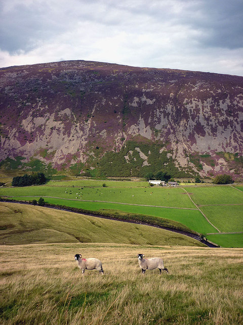 Sheep above the Caldew, late summer