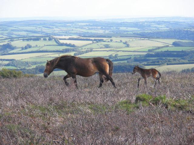 Exmoor Ponies, near Great Rowbarrow