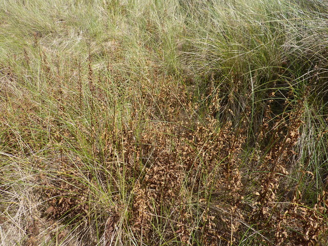 Dead weeds in the marram grass beside Donald Trump's golf course