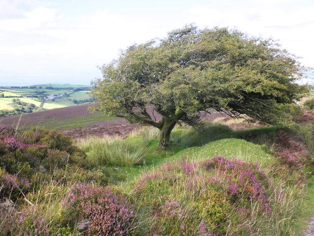 Windswept Hawthorn tree, on Stoke Pero Common