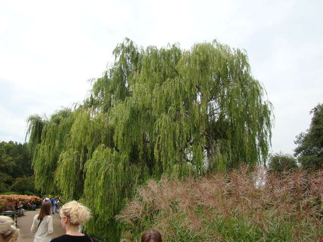 Weeping willow next to the lake