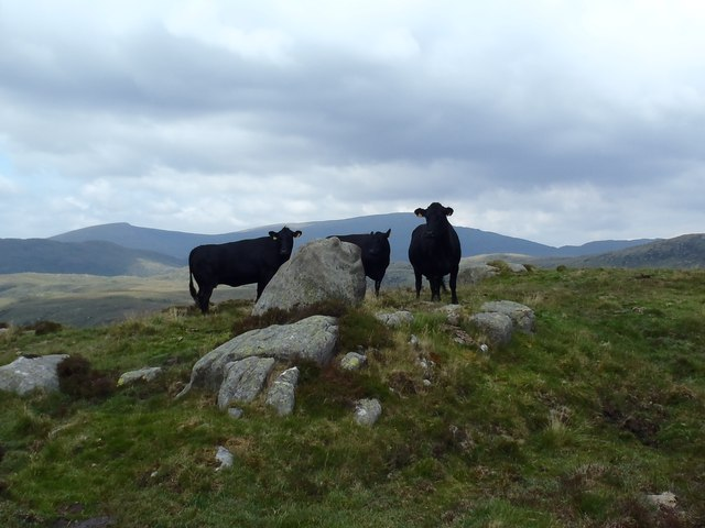Hill cattle near Mid Lump