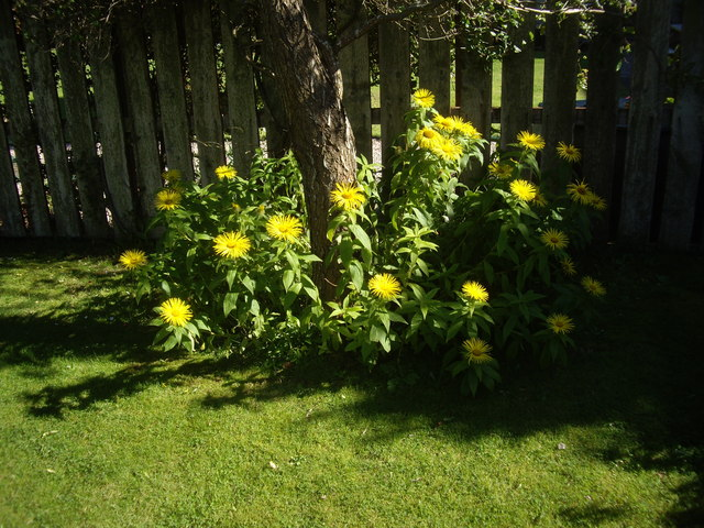 Yellow compositae in bloom