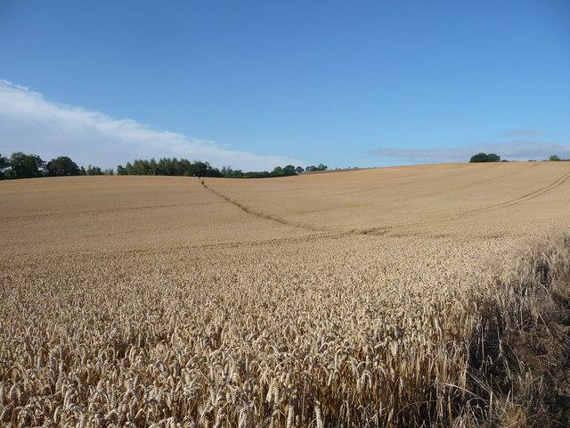 Footpath across a corn field in August