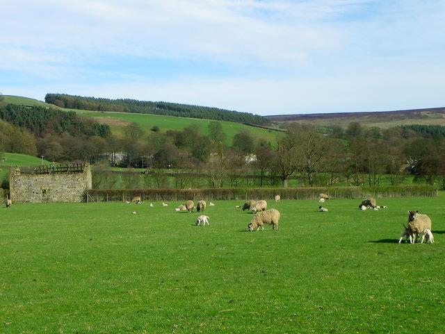 Ewes and lambs near Ramsgill