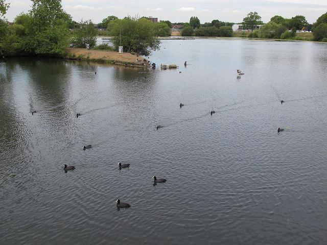 A flotilla of coots