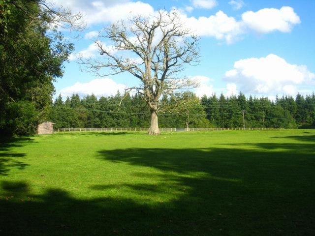 Lone tree - Steventon