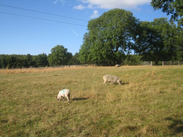 Grazing Sheep - Steventon