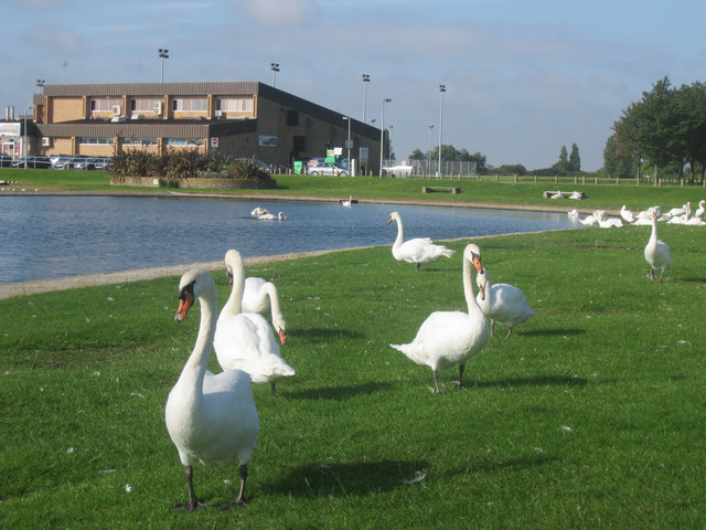 Swans at Dovercourt boating lake