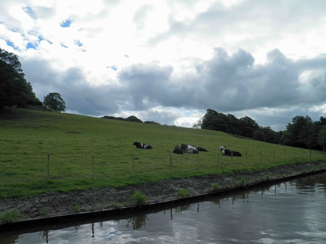 Cows alongside the Leeds Liverpool canal