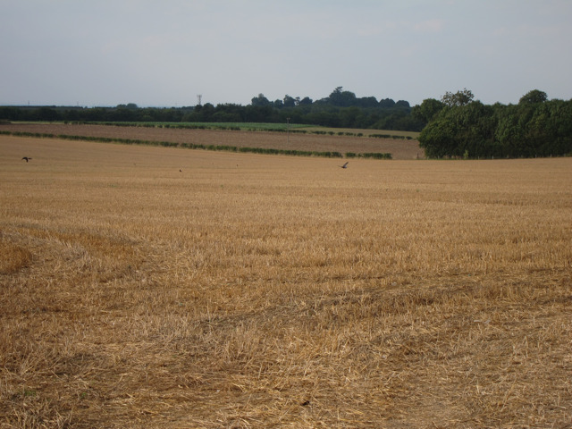 Wheat field by Eastling Road