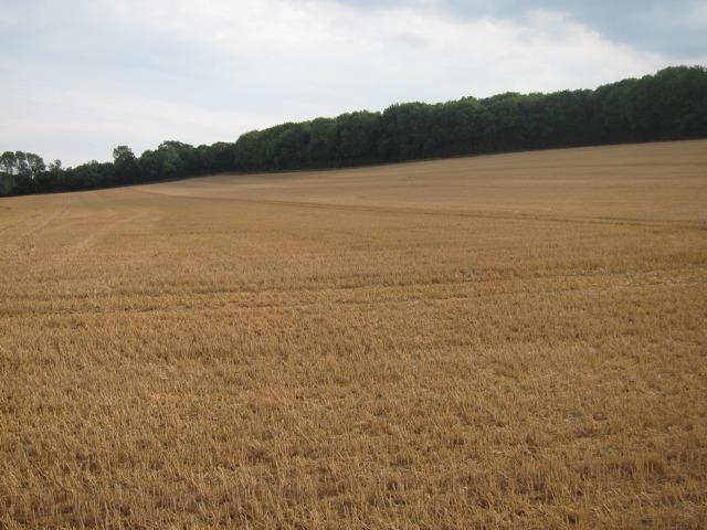 Wheat field by Stalisfield Road