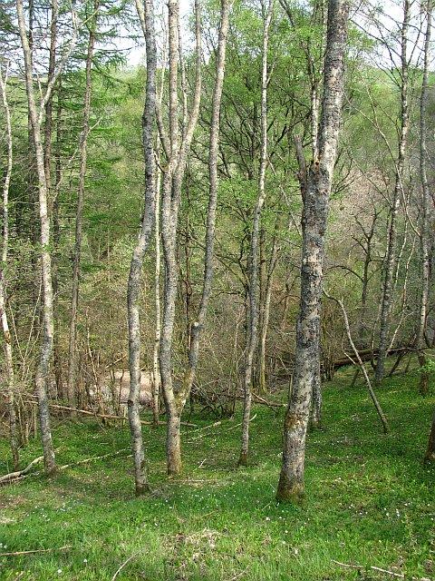 Birk woods near Fender Bridge