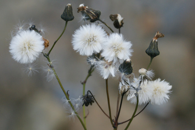 Seed-heads of Prickly Sow-thistle (Sonchus asper), Haroldswick